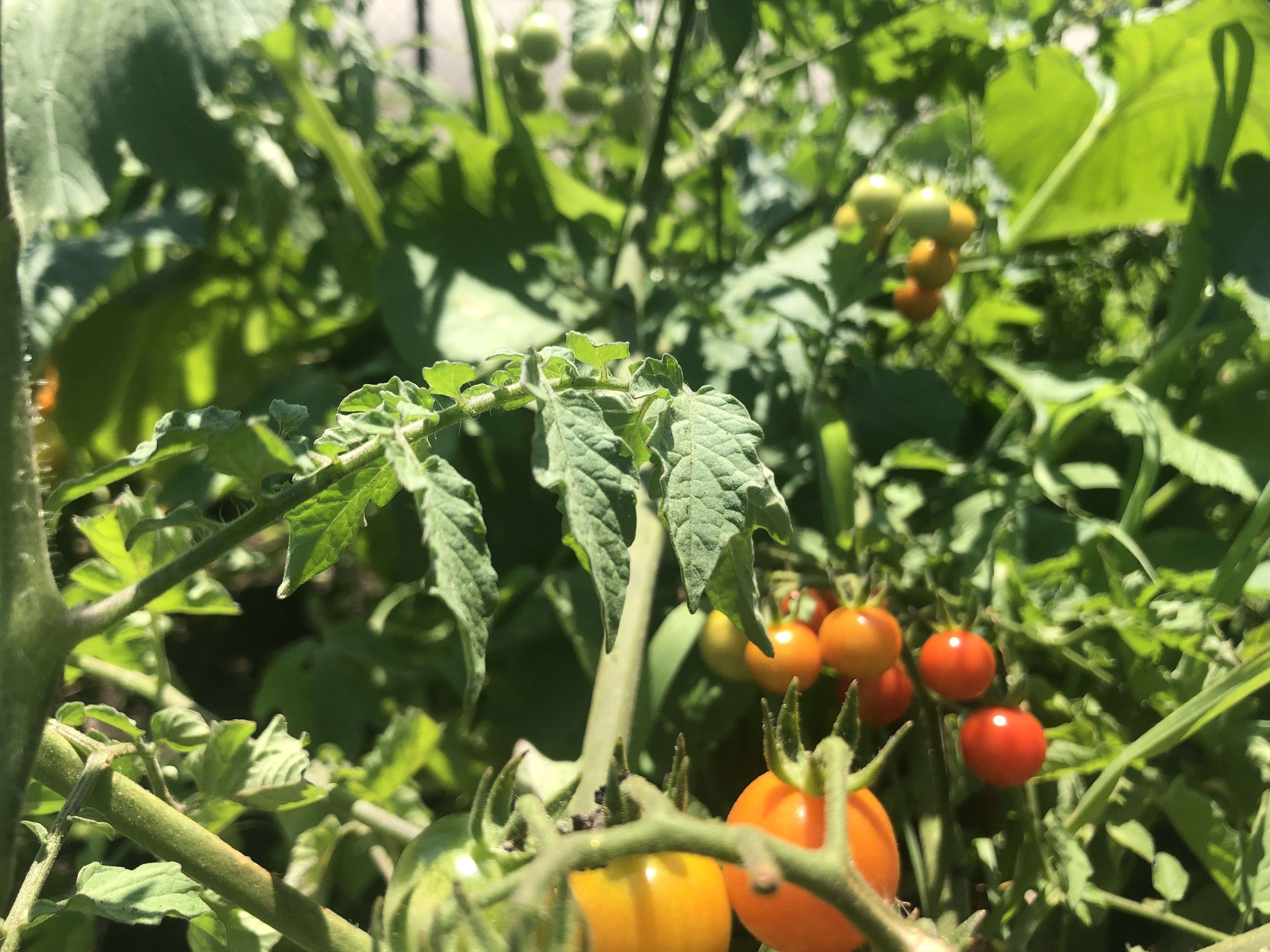 Tomatoes in a garden at KIPP Bloom